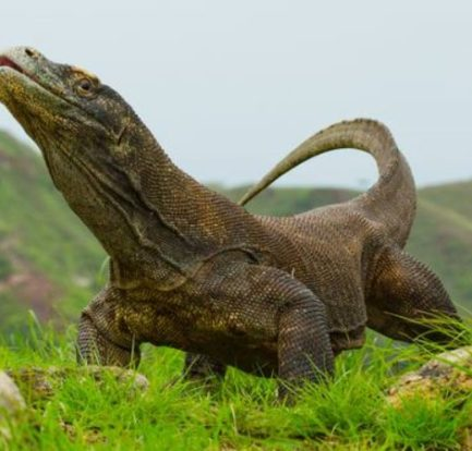 Top 5 Komodo Dragon Facts